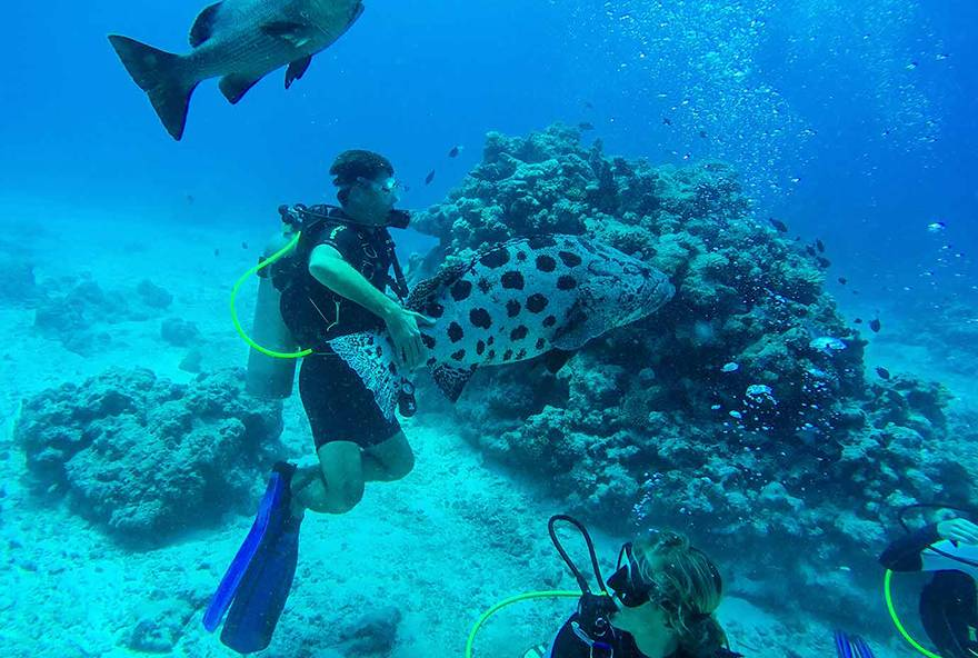 Enjoy diving at Lizard Island at Cod Hole with giant potato cod.